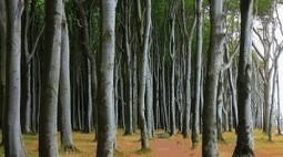 Monsanto GMO trees could devastate forest ecosystems | Développement responsable | Scoop.it
