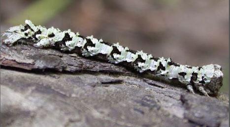 Chenilles mangeuses de lichens, de mousses et d'hépatiques | EntomoScience | Scoop.it