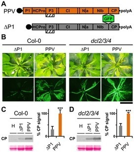 The Hypervariable Amino-Terminus of P1 Protease Modulates Potyviral Replication and Host Defense Responses | Plant-Microbe Interaction | Scoop.it