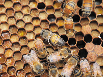 Honeybee virus spread by human activity | Virology News | Scoop.it