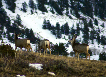 Wildlife: Wintry weather to take toll on Colorado mule deer | GarryRogers Biosphere News | Scoop.it