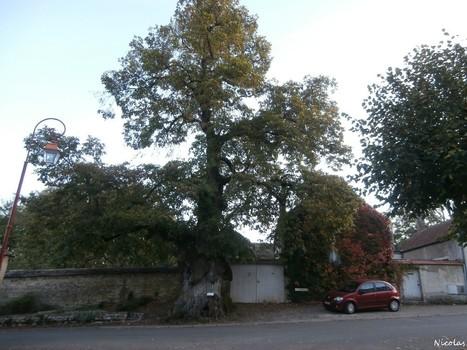 Le tilleul de Sully de Chambolle-Musigny, Côte-d'Or   La parole de l'arbre   Scoop.it