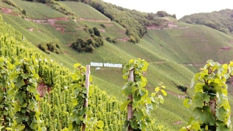 Steep Beauty of Mosel Vineyards | Vitabella Wine Daily Gossip | Scoop.it