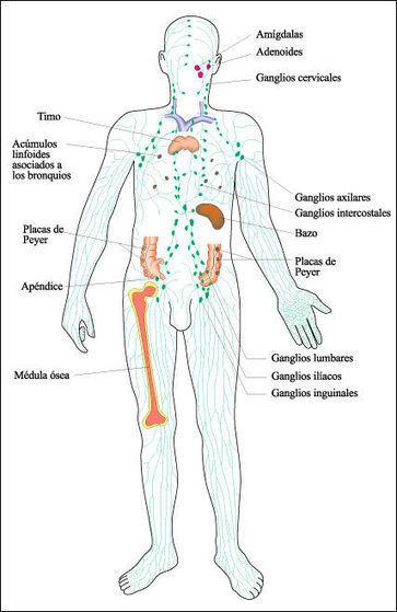 Capítulo 45. Homeostasis III: la respuesta inmune   Respuesta inmune primaria y secundaria   Scoop.it
