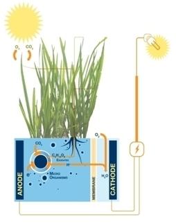 Raíces vegetales y bacterias: una inesperada fuente de electricidad. | Bioquimica | Scoop.it