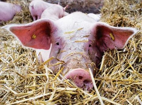 Irish pig farms probed over animal cruelty claims | Animals R Us | Scoop.it