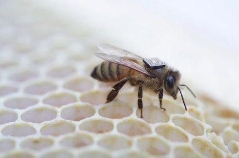 Grâce à ses puces Edison, Intel veut percer le mystère de la disparition des abeilles | EntomoNews | Scoop.it