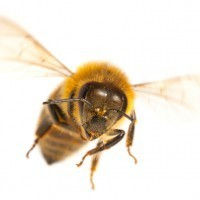 Why is something that is the very best known as 'the bee's knees'? | English language idioms | Scoop.it