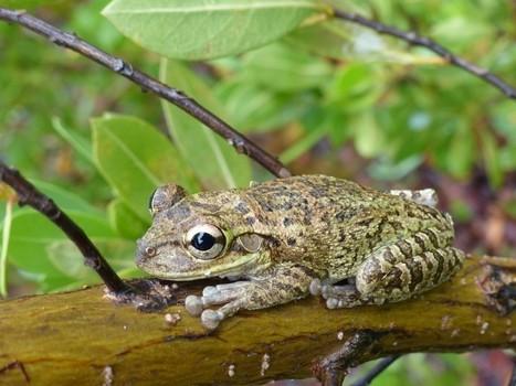 Photo de grenouille : Rainette de Cuba - Osteopilus septentrionalis - Cuban tree frog | Fauna Free Pics - Public Domain - Photos gratuites d'animaux | Scoop.it