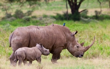 Scientists Produce Fake Rhino Horn to Stop Poaching | Sustainability Science | Scoop.it
