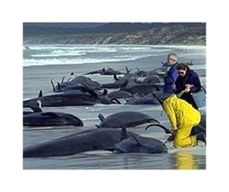 Rescuers to suspend search for stranded whales | Sustain Our Earth | Scoop.it