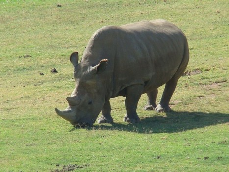Three white rhino killed | Save our Rhino and all animals...this is what it looks like!!!!! | Scoop.it