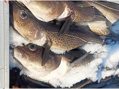 Marine biologist touts N.L. cod fishery's 'sustainability milestone' | Nova Scotia Fishing | Scoop.it