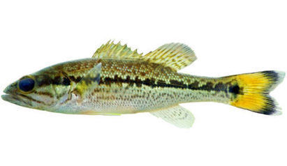 Scientists Discover New Bass Species in Panhandle [SLIDE SHOW] - WCTV | Aquaculture Research | Scoop.it