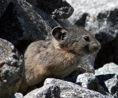 Climate Change to Blame for the Decline of American Pika Population | Endangered Wildlife | Scoop.it