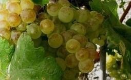 Le Chasselas, champion de la diversité génétique | Le Vin et + encore | Scoop.it