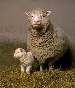 Idade da Ovelha Dolly | Engenharia Genética | Scoop.it