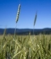 US: Hunt for mystery GM wheat hots up   OGMs   Scoop.it
