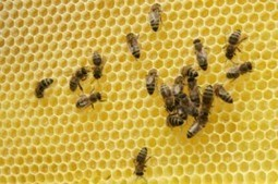 #FF 37 Million #Bees Found Dead in #Elmwood #Canada | Messenger for mother Earth | Scoop.it