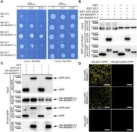 CLCuMuB βC1 Subverts Ubiquitination by Interacting with NbSKP1s to Enhance Geminivirus Infection in  Nicotiana benthamiana | Plant-microbe interaction | Scoop.it