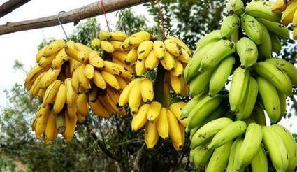 Bananes: 2,5 milliards de francs Cfa injectés pour l'autosuffisance du Sénégal | Questions de développement ... | Scoop.it