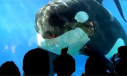 Shocking Court Documents Expose SeaWorld's Continued Cruelty of Orca Whales | Increase Biodiversity - Species Protection, Preservation, & Promotion | Scoop.it