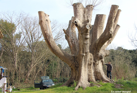Le plus gros platane de France se meurt… | La parole de l'arbre | Scoop.it