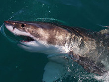 Great White Sharks Now Protected Under Calif.'s Endangered Species Act - CBS Local   Great White Sharks   Scoop.it
