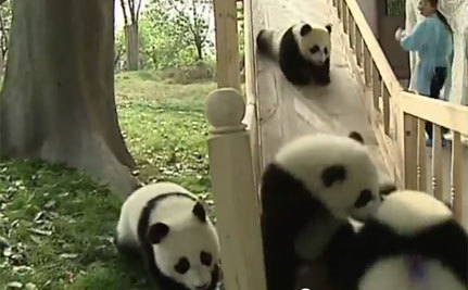Hilarious Sliding Pandas (Video) | This Gives Me Hope | Scoop.it