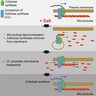 A Mechanism for Sustained Cellulose Synthesis during Salt Stress   lignocellulosic biomass   Scoop.it