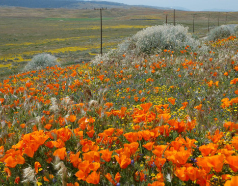 Antelope Valley Poppy Reserve - When On Earth - Places to See, Things to Do, Gear to Get | Offbeat Travel | Scoop.it