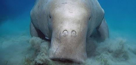Il faut sauver les Dugongs de Nouvelle-Calédonie   Surprenante vie sous-marine   Scoop.it