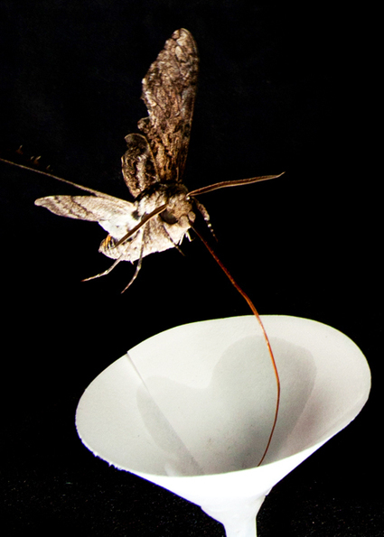 With 2-way wiring, moths feast on floral potluck | Futurity | CALS in the News | Scoop.it