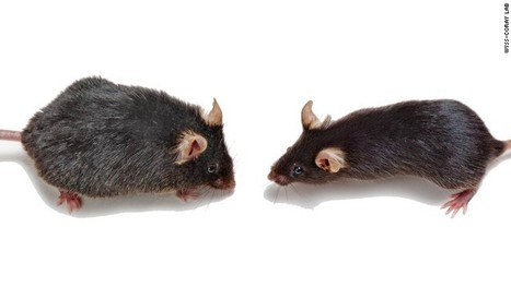 Short transient rapamycin treatment increases lifespan in mice by over 50% | Amazing Science | Scoop.it