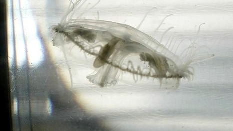Des méduses pourraient apparaître dans le Léman - Tribune de Genève | Rescoop -Faune - Flore - Environnement | Scoop.it