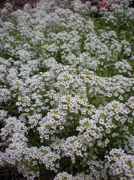 Lobularia-A Great Plant for Harris County | botany | Scoop.it