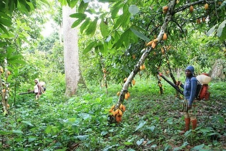 Drought Deals Harsh Blow to Cameroon's Cocoa Farmers | Inter Press Service | Sustain Our Earth | Scoop.it