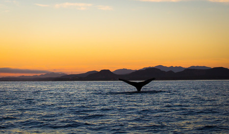 Whale Tale at the Crack of Dawn by Zach Dischner on Flickr | Baja California | Scoop.it