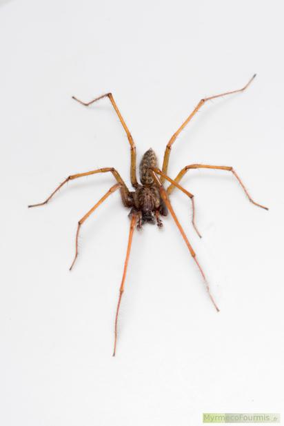Les araign es t g naires s for Araignee de maison