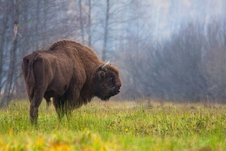 Mysterious origin of European bison revealed using DNA and cave art | Amazing Science | Scoop.it