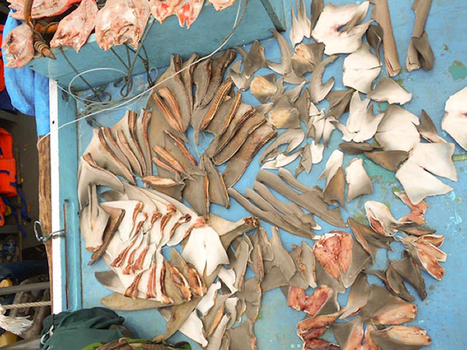 Caught For Fins, Sharks Die At Unsustainable Rate, Study Finds : NPR | In Deep Water | Scoop.it