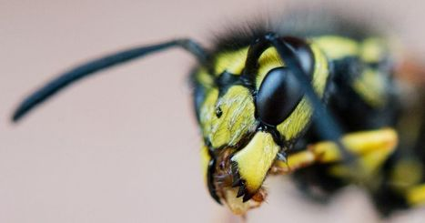 Researchers want to use wasps to improve UAV flight plans | Robots in Higher Education | Scoop.it