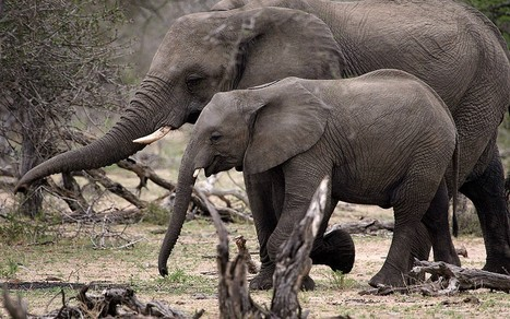 Ivory demand in Far East could see African elephant wiped out  - Telegraph | Illegal Wildife Trade | Scoop.it