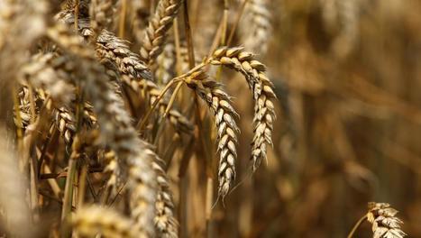 Le blé français rare et pas cher - RFI | Le Fil @gricole | Scoop.it