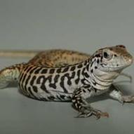 No Sex Needed: All-Female Lizard Species Cross Their Chromosomes to Make Babies   animals and prosocial capacities   Scoop.it