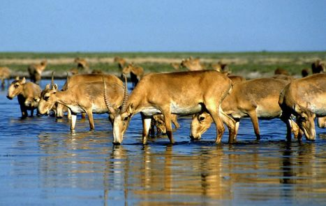 120,000 endangered saiga antelopes die mysteriously in Kazakhstan | Sustain Our Earth | Scoop.it