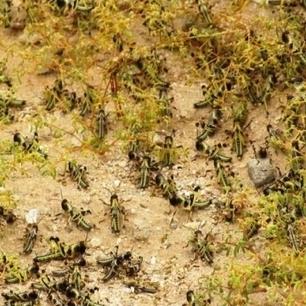 Les sauterelles attaquent les plantations | Égypt-actus | Scoop.it