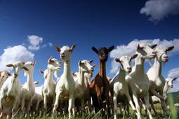 Pour la Science - Actualité - L'accent des chèvres | Apprendre ++ | Scoop.it