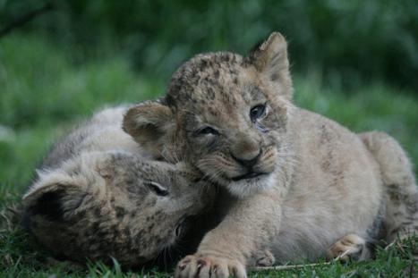When will Canned Lion Hunting End? | Animals R Us | Scoop.it