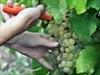 Winemakers preserve wine with late pruning | Vitabella Wine Daily Gossip | Scoop.it
